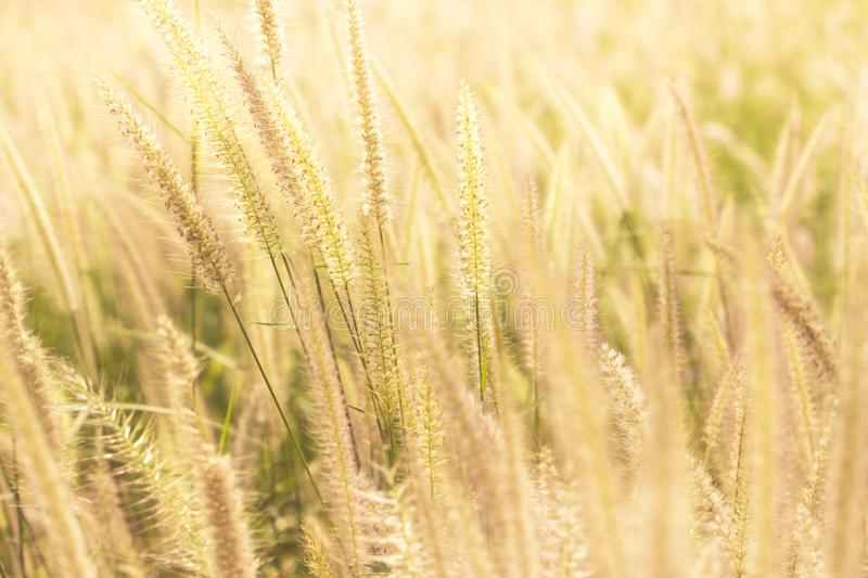 Good morning with golden light. Good morning with golden light and grass swaying in the summer, abstract background royalty free stock images
