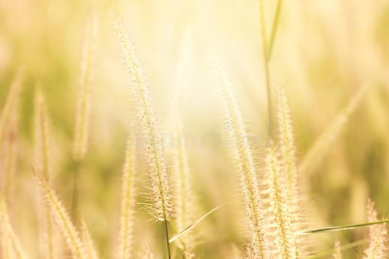 Good morning with golden light. Good morning with golden light and grass swaying in the summer, abstract background stock photography