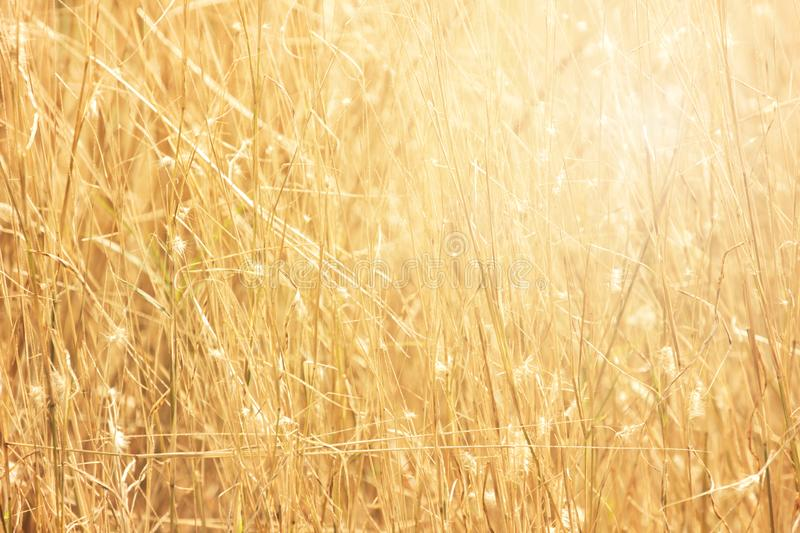 Good morning with golden light. Good morning with golden light and grass swaying in the summer, abstract background royalty free stock photo