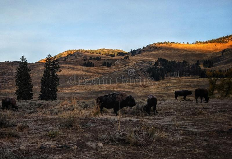 Good morning Lemar Valley Yellowstone baby Buffalo stock photography