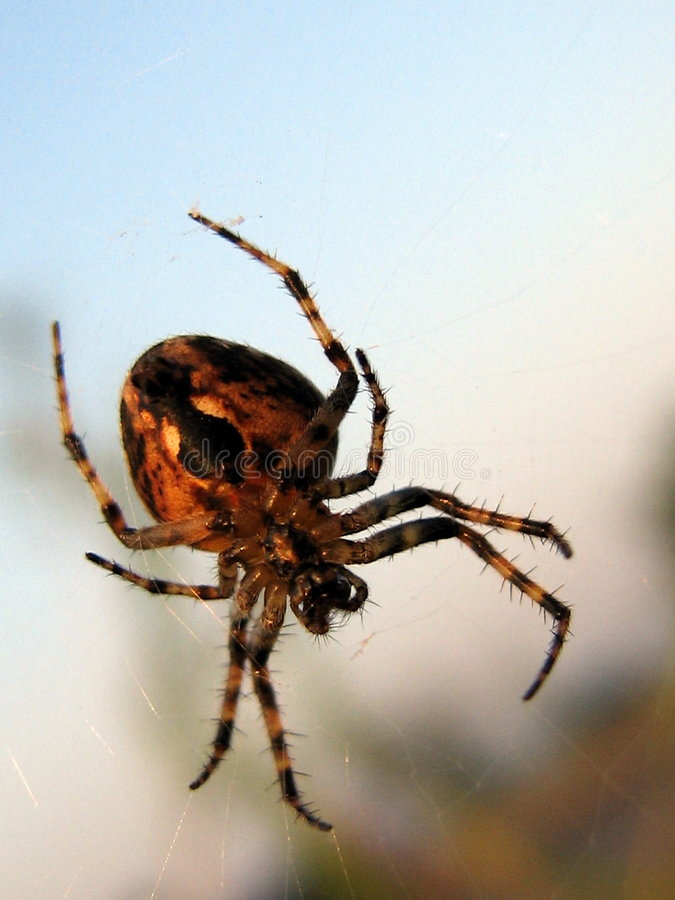 Good morning Spidey. A spider wakes up in the morning sunlight royalty free stock image