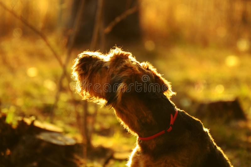 Good morning sunshine, the beginning of a new day. A beautiful, soft, moody portrait of a young purebred Airedale Terrier dog looking around her in the early stock photography