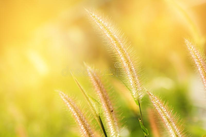 Good morning sunshine with soft grass flowers. Bright green and yellow grass flowers in wide fields royalty free stock photos
