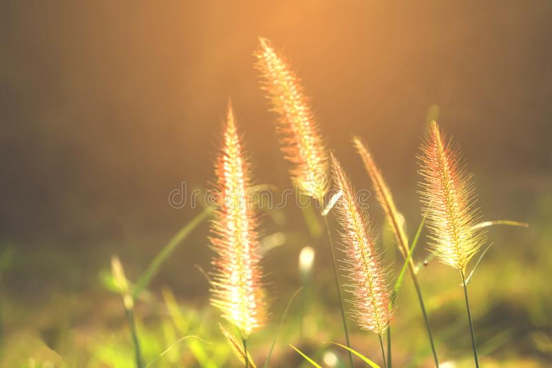 Good morning sunshine with soft grass flowers. Bright green and yellow grass flowers in wide fields royalty free stock image