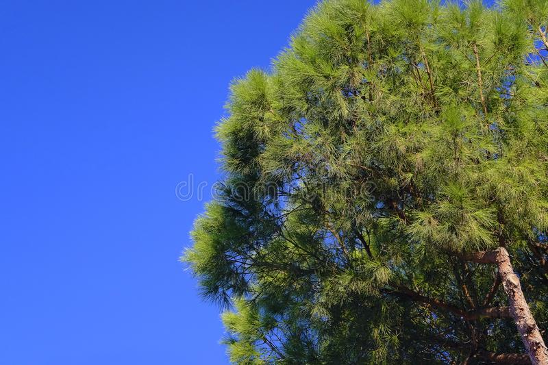Southern pine tree, blue sky royalty free stock images