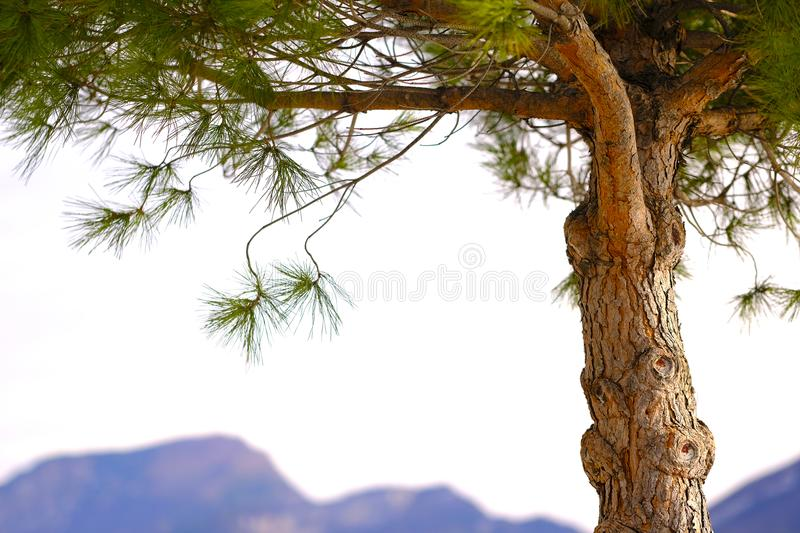 Southern pine tree background stock photography