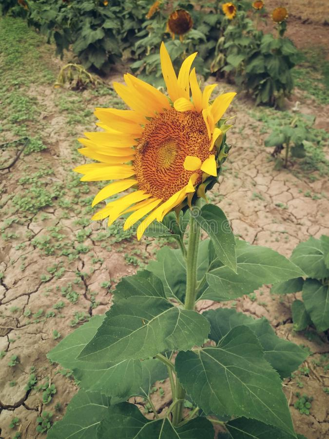 The good sunflower royalty free stock images