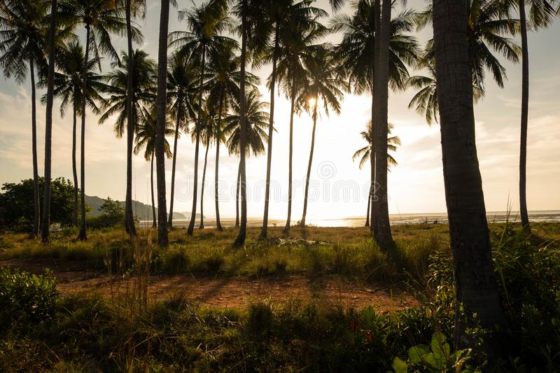 Good vibe of the coconut plantation in morning. Near seashore and sunshine in morning that is splashing through coconut tree creates shadow and rim light makes royalty free stock image