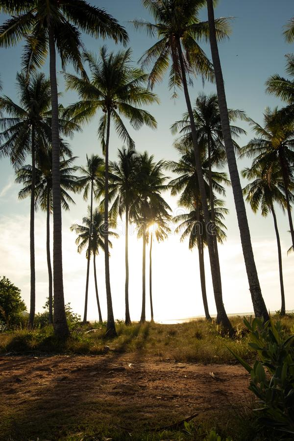 Good vibe of the coconut plantation in morning. Near seashore and sunshine in morning that is splashing through coconut tree creates shadow and rim light makes stock photo