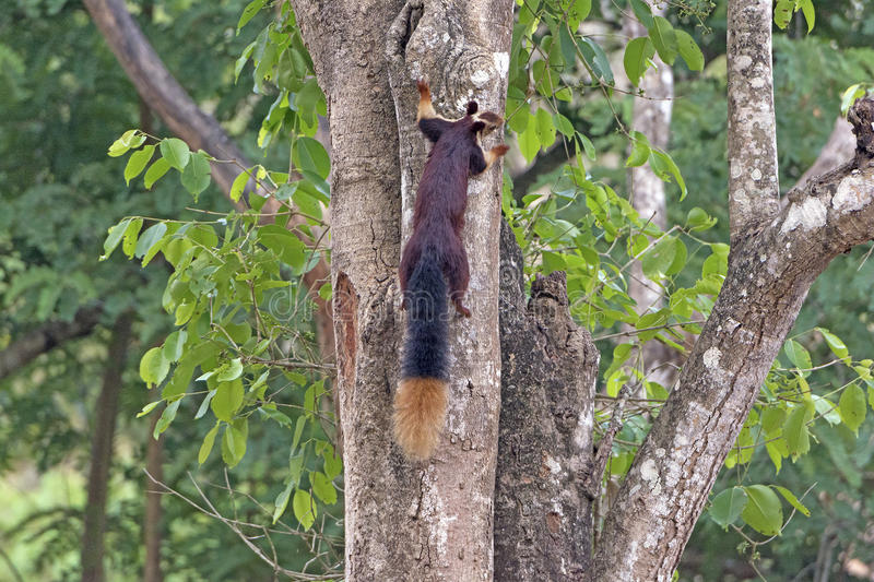 Good View of the Giant Malabar Squirrel Tail. In Nagarhole National Park in India stock photography