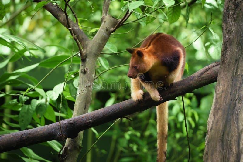 Goodfellow's tree kangaroo royalty free stock photos