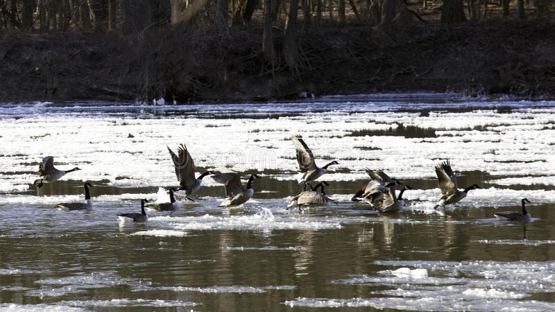 Gooes in iced river flying to escape. Schuylkill River, PA USA-01 26 2019:Gooes in iced river flying to escape royalty free stock photos