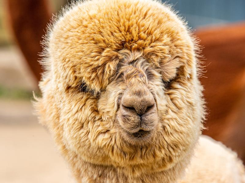 Goofy brown puffy alpaca face royalty free stock image