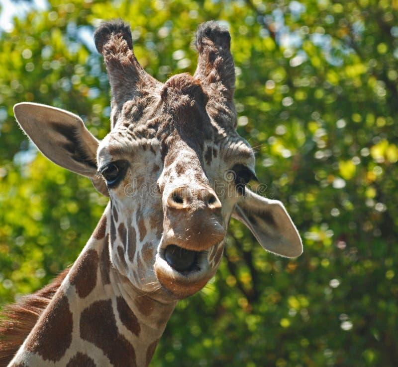 Download Goofy Giraffe stock photo. Image of dumb, funny, safari - 10783750