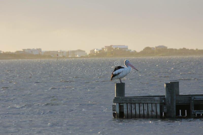 Goolwa bird life royalty free stock image