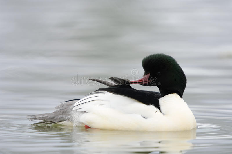Goosander. Male goosander swimming on a lake royalty free stock photography