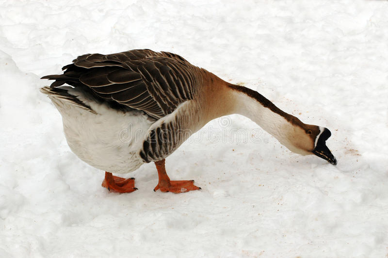 Download Goose. stock photo. Image of image, fauna, feathers, avian - 11298834
