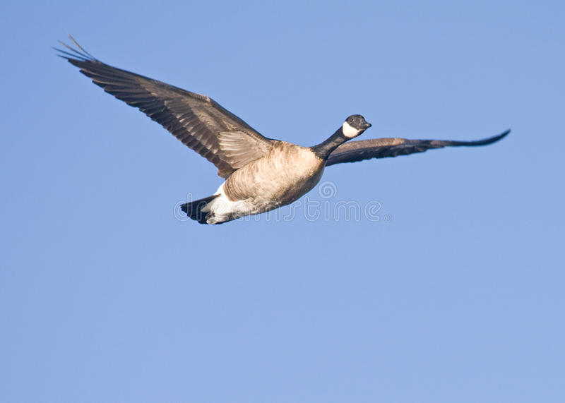 Download Goose stock photo. Image of large, feather, waterfowl - 14073646