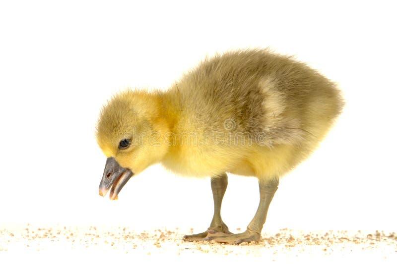 Download Goose stock image. Image of gentle, bird, love, newborn - 15031009