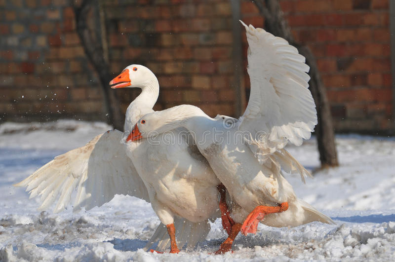 Download Goose stock photo. Image of agile, bill, greylag, cute - 18621354
