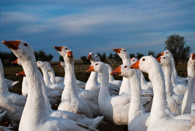 Goose Stock Photos