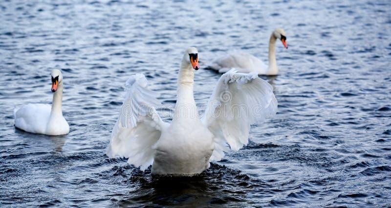 Download Goose Royalty Free Stock Photos - Image: 467238