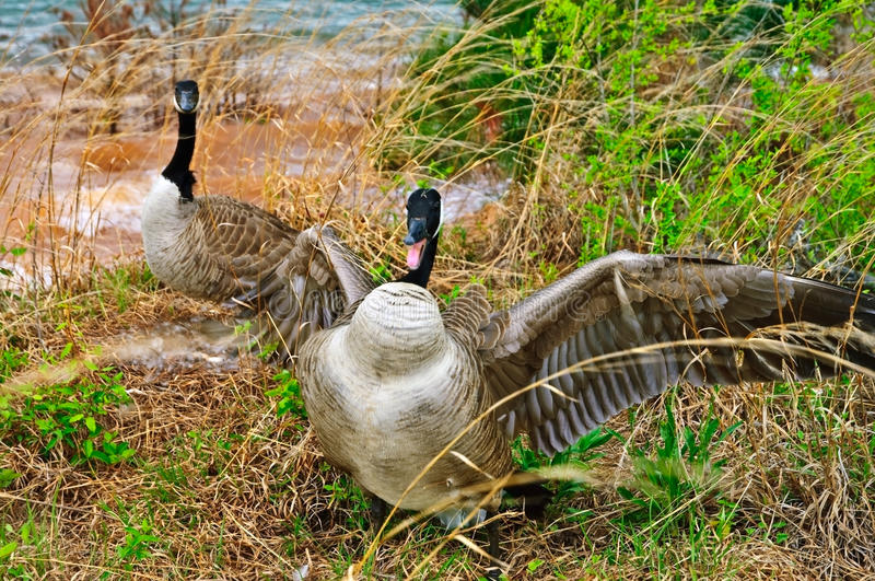 Goose Attacking Protecting Nest. The female is on the eggs and the male is trying to run the invaders off. There was a dog sniffing too close stock image