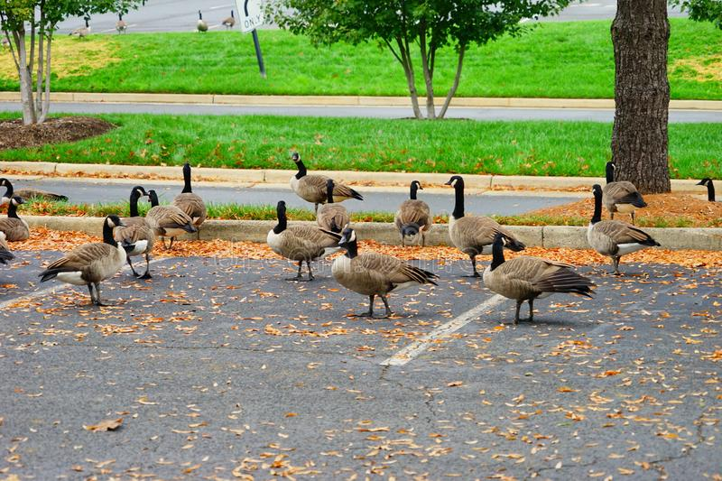 Goose and fall. Goose at autumn taken in Virginia royalty free stock images