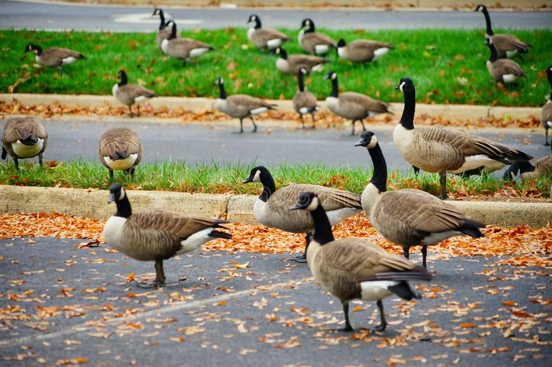 Goose and fall. Goose at autumn taken in Virginia royalty free stock photography