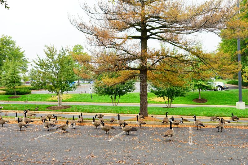 Goose and fall. Goose at autumn taken in Virginia stock photos