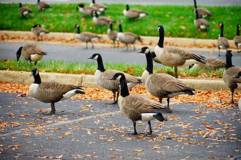 Goose and fall. Goose at autumn taken in Virginia royalty free stock photos