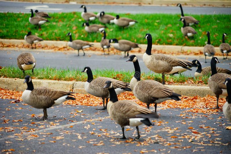 Goose and fall. Goose at autumn taken in Virginia stock photo