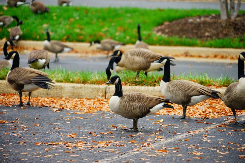 Goose and fall. Goose at autumn taken in Virginia stock images