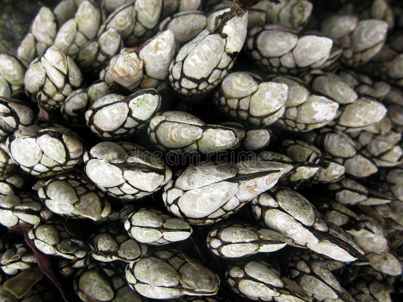 Goose barnacle royalty free stock image