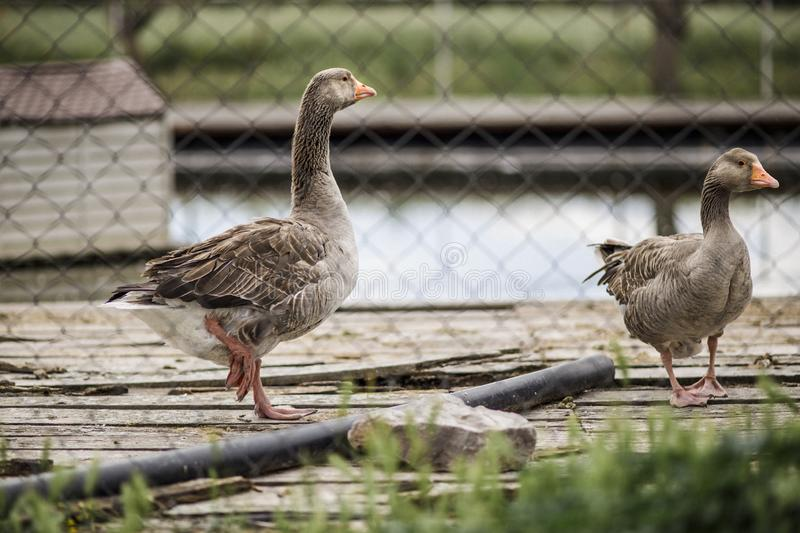 Goose-beak defocused. A goose beak defocused, outdoor royalty free stock images