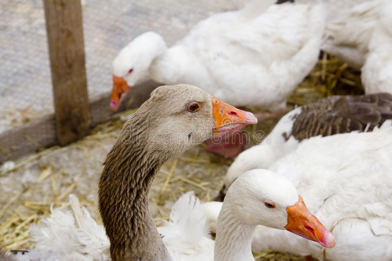 Download Goose Bird White And Brown In Farmyard Stock Image - Image of down, goose: 19660971
