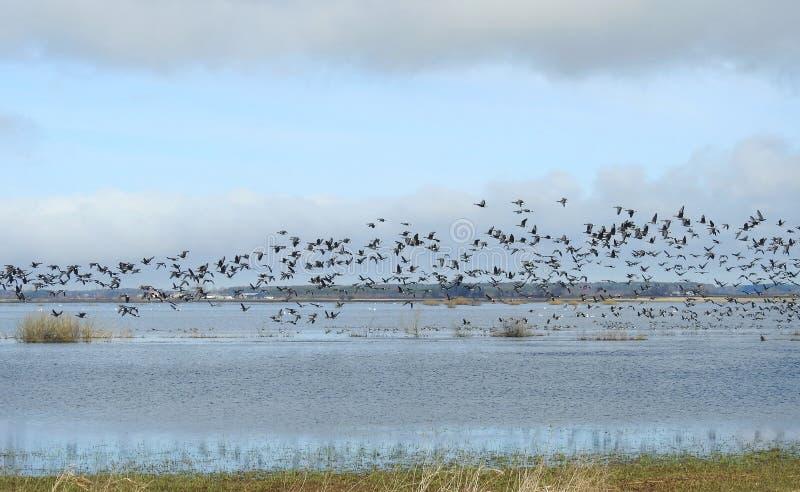 Goose birds flying over flood field, Lithuania stock photos
