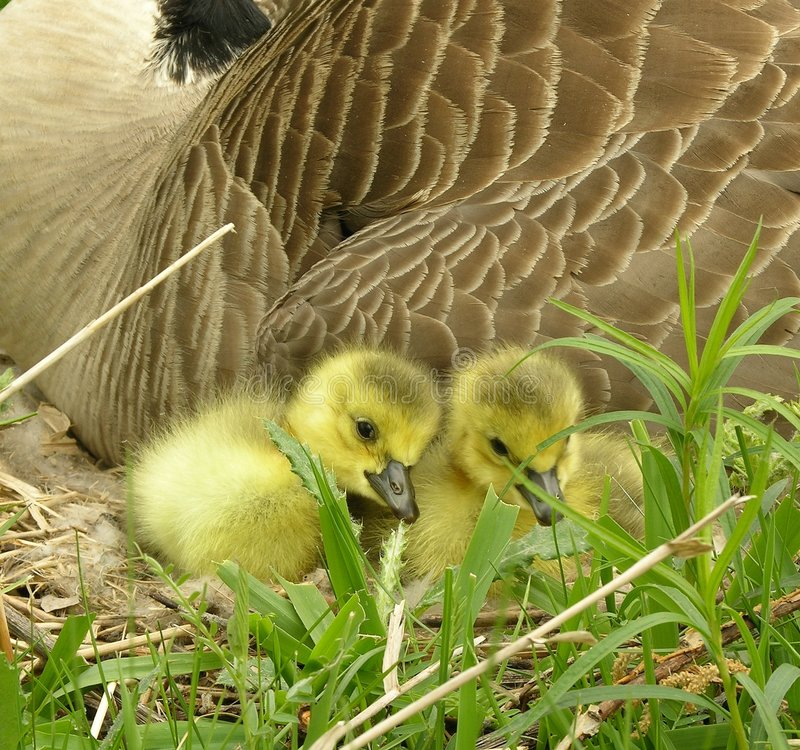 Free Goose Chicks 3 Royalty Free Stock Photography - 123707