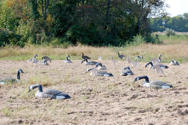 Goose Decoys. A field of realistic Canada goose decoys stock photography
