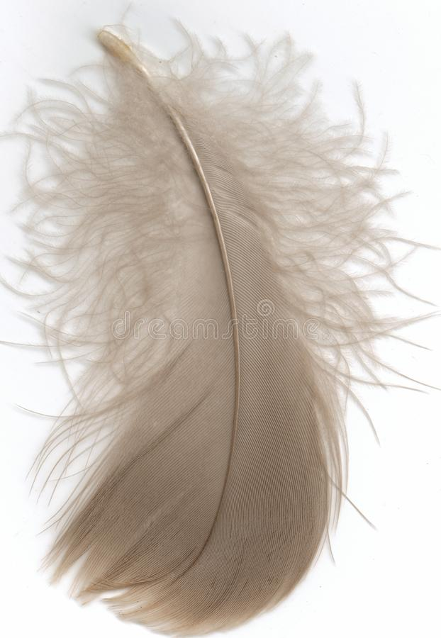 Download Goose Down Feather Royalty Free Stock Images - Image: 14276839