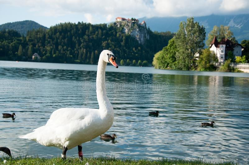 Goose and ducks on Lake Bled in summer, view of Bled castle, Slovenia, Europe stock images