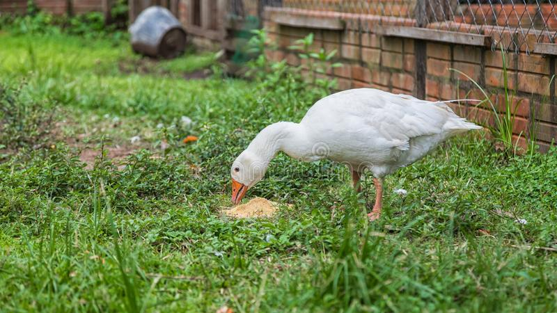 Goose eating on a farm. royalty free stock image