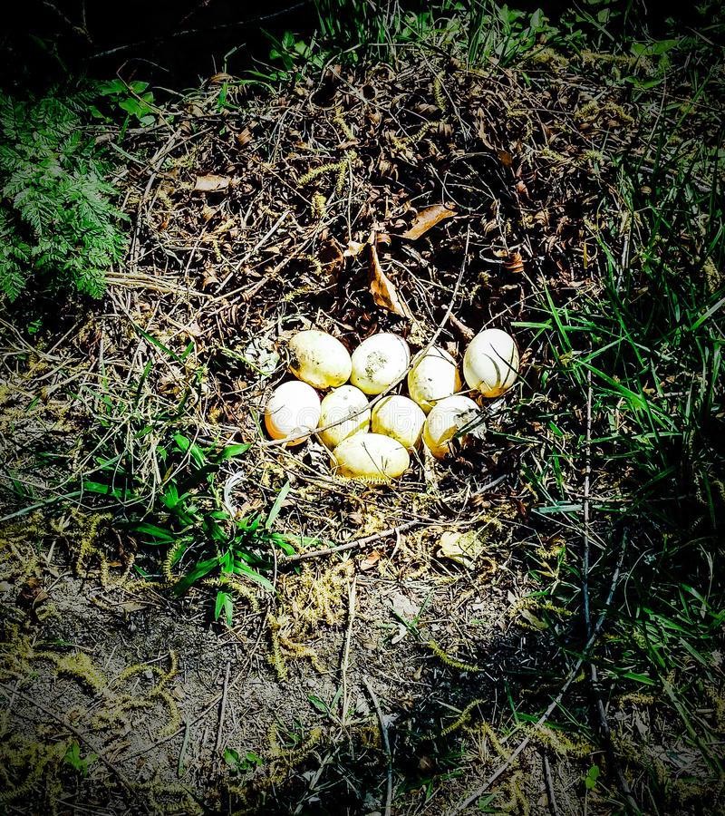 Goose eggs royalty free stock photos