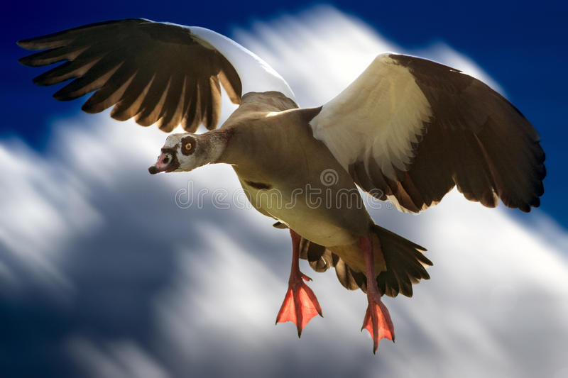 Goose Egypt in flight. Enhanced sky royalty free stock images