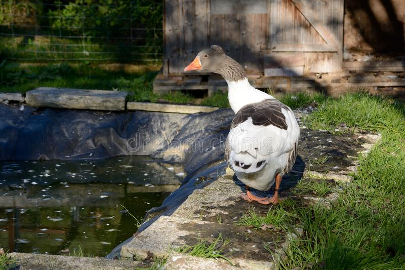 Species-appropriate attitude of a goose. Goose in enclosure in species-appropriate attitude at pond and meadow stock images