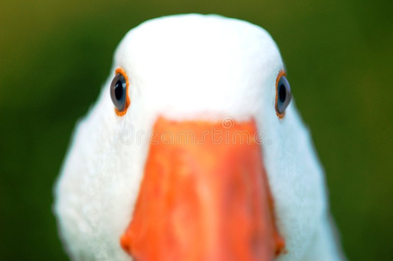 Goose eyes stock image