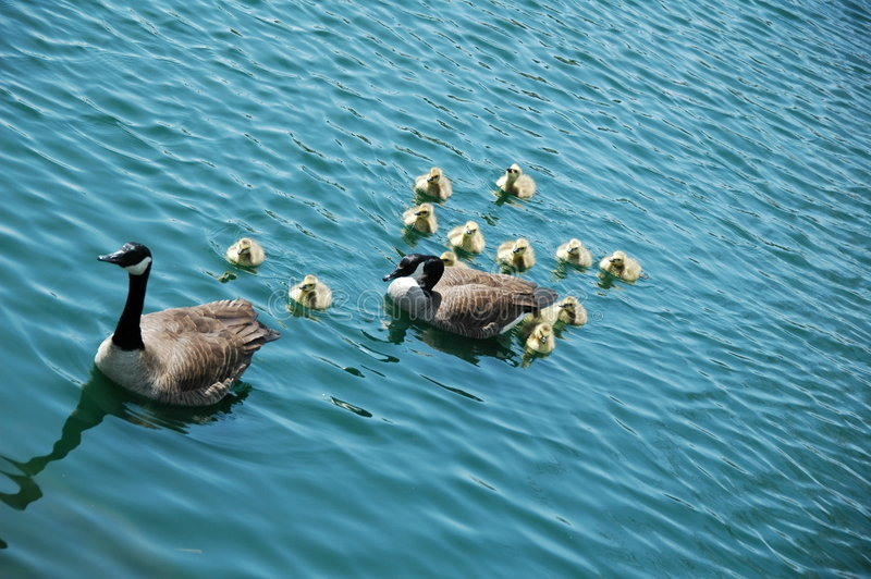 Goose Family. A group of young goose with their father and mother stock images