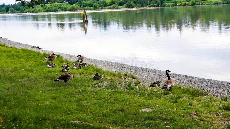 Goose family along river royalty free stock image