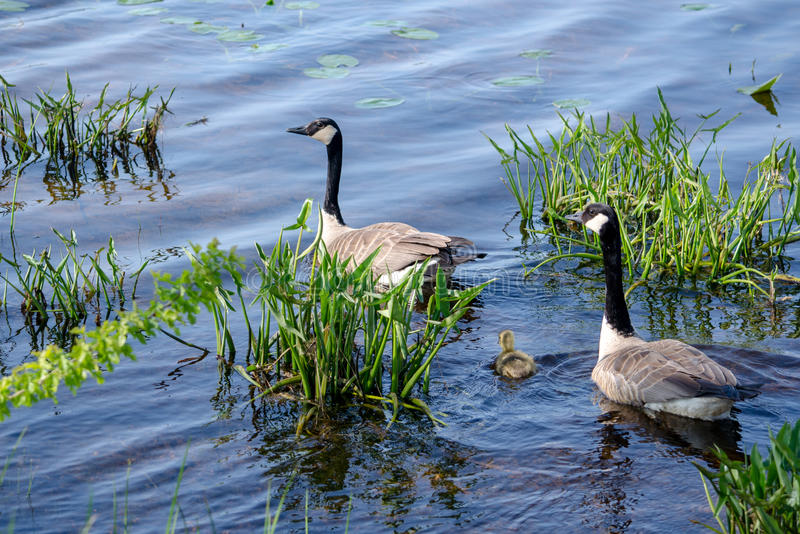 Goose family protecting baby chick. A mother goose stays close to her new baby chick, as they swim in the warm water of this small michigan pond, and dad brings stock photo