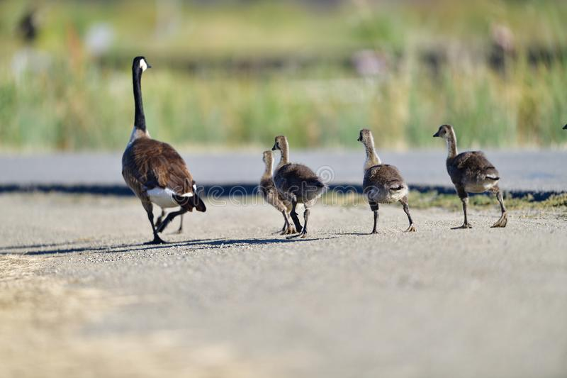 A Goose Family Walking on Bay Trail royalty free stock images